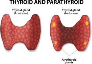 Thyroid-and-parathyroid-gland