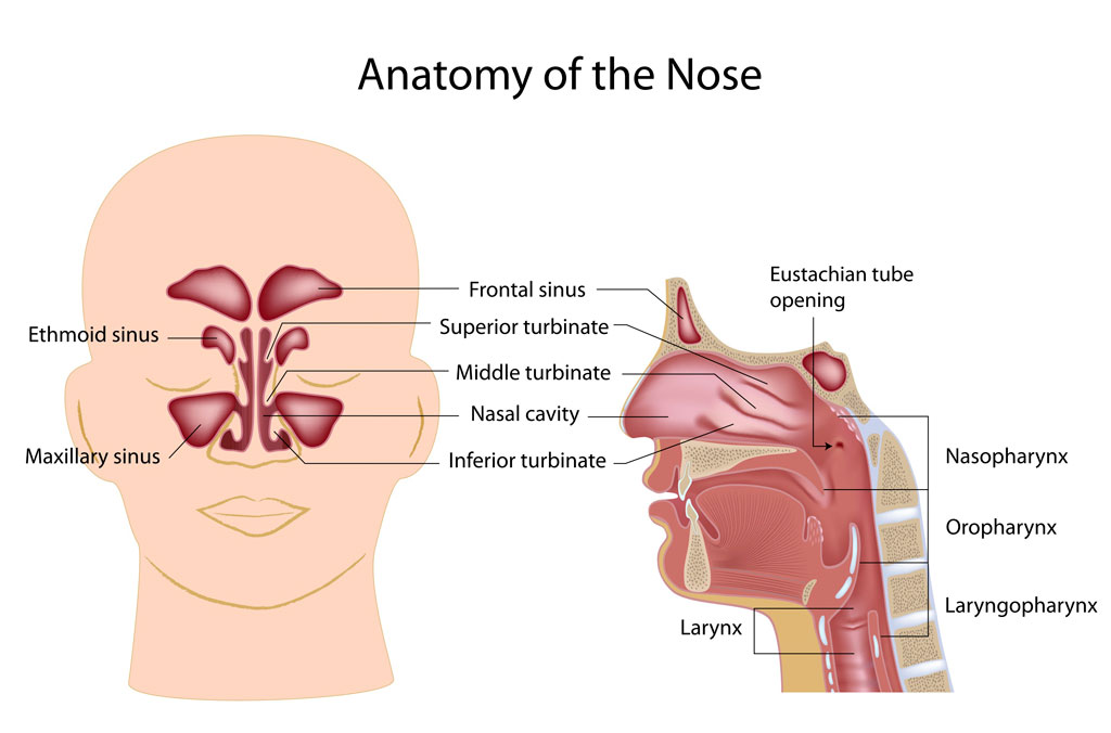 Anatomy Nose Fort Worth Ent Sinus