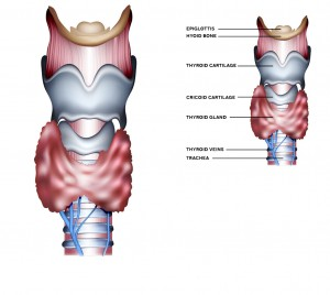 thyroid-gland-trachea